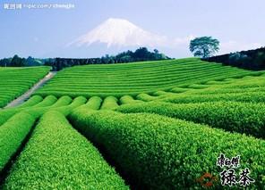 锡茶11种植技术