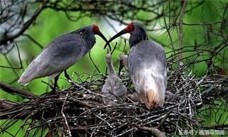 竹鸡的育雏管理