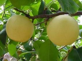 黑柳子白梨脆甜瓜