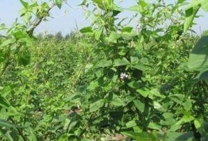 棉花藤的功效与作用