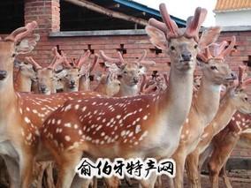 东丰梅花鹿