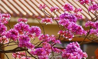 红花风铃木病虫害防治方法