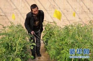 甘肃省明确5种农药在温室和露地番茄中消解动态