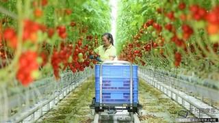 """种子纯""""荷兰血统"""" 温室番茄走出国际范"""