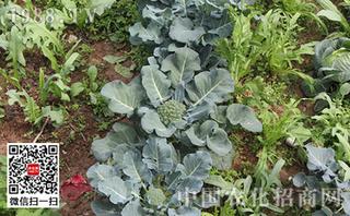 花椰菜环斑病害防治方法