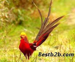 红腹锦鸡、山鸡、火鸡的育雏管理