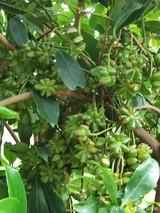 一棵八角树能产多少斤