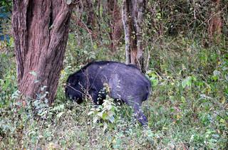 黑龙江东宁调查非洲猪瘟防范野猪分布