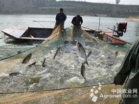 """宜都:60万公斤鲟鱼找到""""新家"""""""