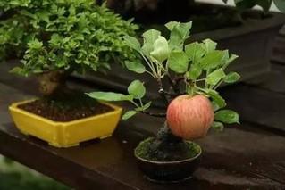 盆栽苹果树怎么种植