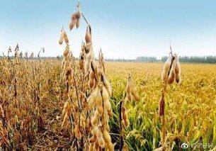 东北玉米大豆遭遇大面积干旱 影响产量预期