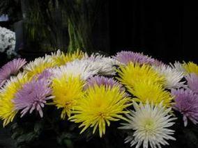 切花菊主要病虫害防治