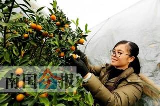 柳州农业专家下田间 金桔果农展笑颜