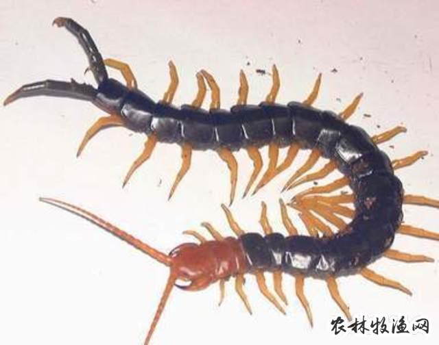 蜈蚣的人工饲养方法