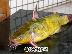 涨渡湖黄颡鱼