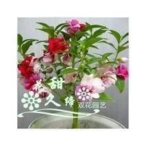 家庭盆栽凤仙花的科学栽培