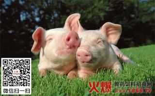 麦麸喂猪要适量