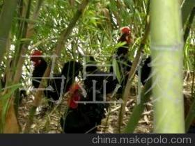 丝光鸡的饲养方法