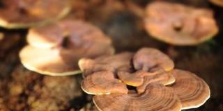 灵芝、铁皮石斛ISO国际标准发布