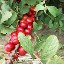 欧李树北方能种植吗?钙果适合什么地区种植?