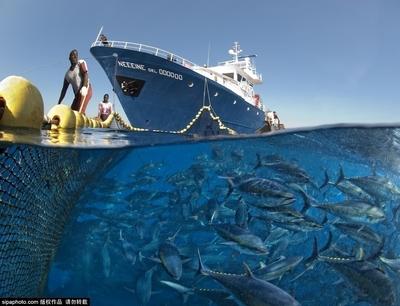金枪鱼捕捞