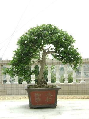 怎样养桂花树盆栽?桂花树室内养殖技巧