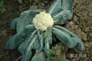 花椰菜黑根的发生及防治