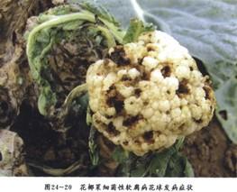 正确防治花椰菜黄萎病