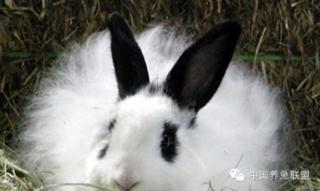 影响兔子毛产量的因素及增产方法