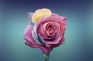玫瑰露的功效与作用