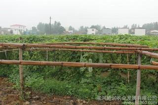秋冬季大棚茄果类蔬菜种植管理要点