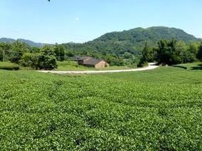 福鼎白茶的栽培要点