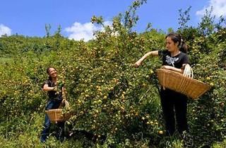 贵州刺梨成为首个培育重点