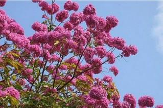 红花风铃木怎么种植