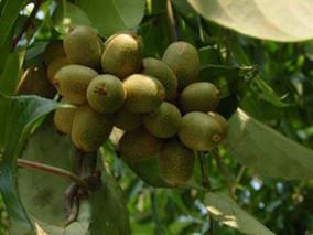 多花猕猴桃的功效与作用