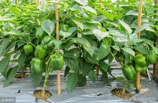 辣椒冬春茬无公害栽培技术