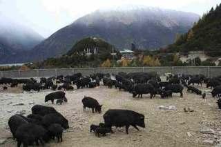 西藏林芝市:院企合作推进藏香猪产业