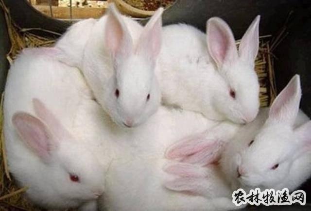 开眼期仔兔咋管理
