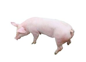 三元杂交猪