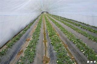 塑料大棚草莓促成栽培在显蕾期覆盖地膜 这个时期植株韧性最好