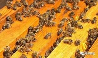 蜜蜂病害的预防与治疗
