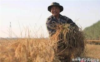 河北正定生态水稻喜获丰收