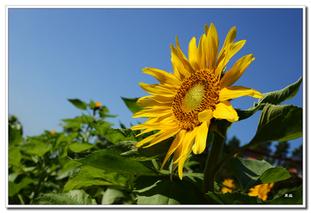 安阳农民种植向日葵促发展