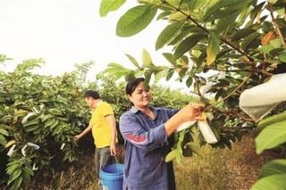 惠州:种植番石榴闯出一片天