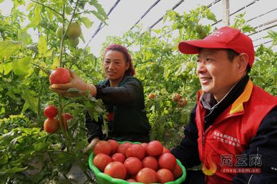 河南经霜红柿真美味 时令极速5分排列3蔬菜受欢迎
