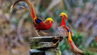 红腹锦鸡的繁殖及育苗