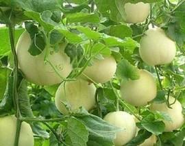 甜瓜种植有标准产业发展动力足