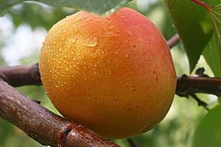 长林岛龙垦杏