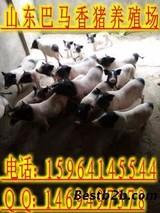 """安徽岳西""""构香猪""""闯出致富新路"""