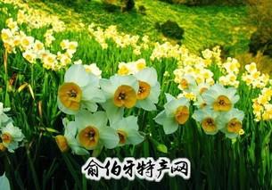 崇明水仙花